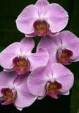 пинк орхидеи Стоковые Изображения RF