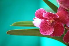 пинк орхидей Стоковые Изображения