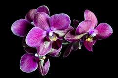 пинк орхидеи предпосылки черный стоковые фотографии rf