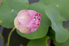 пинк лотоса цветка цветения Стоковые Изображения