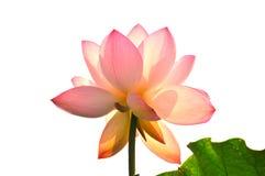 пинк лотоса цветка цветения Стоковые Фотографии RF