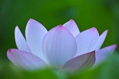 пинк лотоса цветка цветения Стоковое Изображение