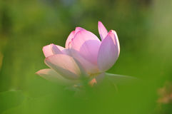 пинк лотоса цветка цветения Стоковое Фото