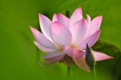 пинк лотоса цветка цветения Стоковое Изображение RF