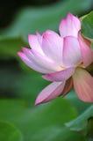 пинк лотоса цветка цветения Стоковая Фотография