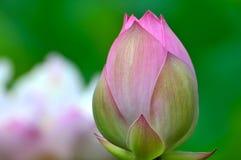 пинк лотоса цветка цветения Стоковые Фото