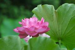 пинк лотоса цветка цветения Стоковая Фотография RF