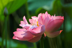 пинк лотоса цветка цветения Стоковое фото RF