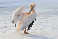 пинк пеликана Стоковое фото RF