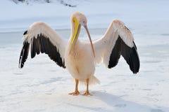 пинк пеликана Стоковое Фото