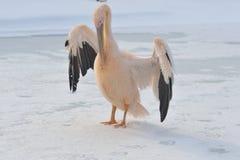 пинк пеликана Стоковая Фотография