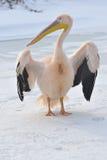 пинк пеликана Стоковые Фотографии RF