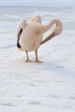 пинк пеликана Стоковые Изображения RF