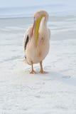 пинк пеликана Стоковые Изображения