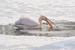 пинк пеликана Стоковые Фото