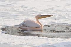 пинк пеликанов Стоковая Фотография RF
