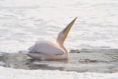 пинк пеликанов Стоковое Изображение