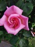 Пинк поднял в сад стоковое изображение