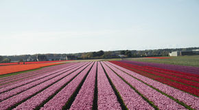 Пинк поля тюльпана Голландии Стоковое Изображение