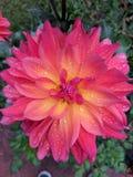 Пинк природы цветка Стоковая Фотография