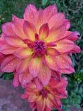 Пинк природы цветка Стоковое Изображение