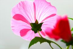 пинк просвирняка цветка стоковое фото rf
