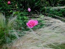 Пинк Роза в одичалом Стоковое Изображение