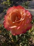 Пинк Роза в солнечности стоковое фото