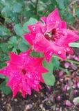 Пинк Роза с японскими жуками Стоковые Фото