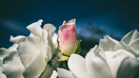Пинк Роза, трудный контраст стоковые фотографии rf