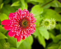 пинк сада цветка Стоковые Фотографии RF