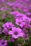 Пинк с фиолетовым гераниумом Sandrine центра Стоковые Фото