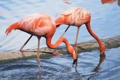 пинк фламингоа пар Стоковое Фото