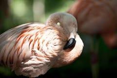 пинк фламингоа птицы Стоковое Изображение