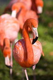 пинк фламингоа Стоковые Изображения RF