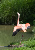 пинк фламингоа Стоковое Фото
