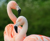 пинк фламингоов Стоковые Фотографии RF