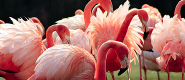 пинк фламингоов Стоковое Изображение