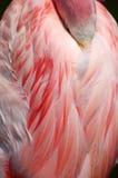 Пинк фламинго спать большой оперяется деталь Стоковое Изображение
