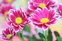 пинк хризантемы Стоковые Изображения