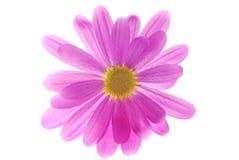 пинк хризантемы стоковые фотографии rf