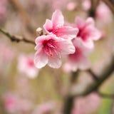 Пинк 2 цветений персика Стоковые Фотографии RF