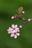пинк цветения Стоковые Фото
