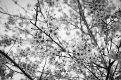 Пинк цветет вишневый цвет или цветок Сакуры с с голубым небом Стоковые Фотографии RF