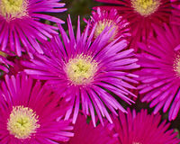 Пинк цветет крупный план, естественная предпосылка Стоковое Изображение