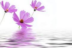 Пинк цветет отражение воды космоса Стоковая Фотография
