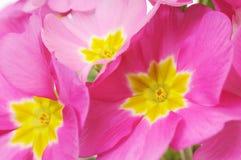 Пинк цветет предпосылка Стоковое Изображение RF