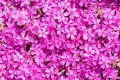 Пинк цветет предпосылка glade Стоковое Изображение RF