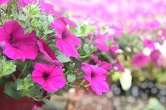 Пинк цветет цветение Pitunia в саде Стоковые Изображения RF