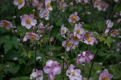 Пинк цветет Afeild 4 Стоковые Изображения